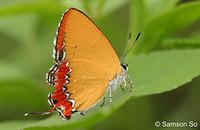 Hong_kong_butterfly